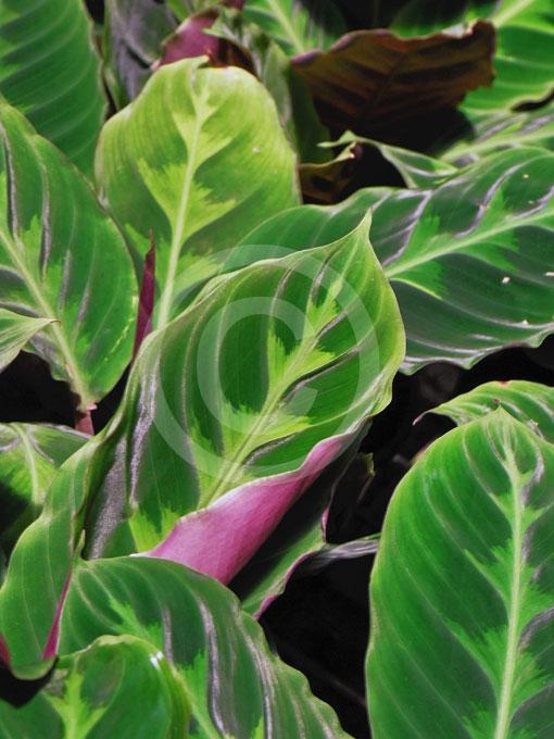 Calathea Warscewiczii Jungle Velvet Information Amp Photos