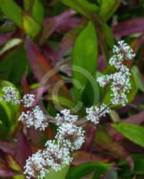 Callisia fragrans