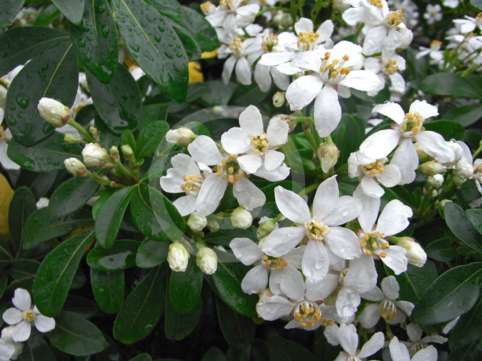 Choisya Ternata Mexican Orange Blossom Information Amp Photos