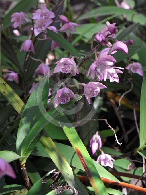 Dendrobium Kingianum Pink Rock Orchid Information Amp Photos