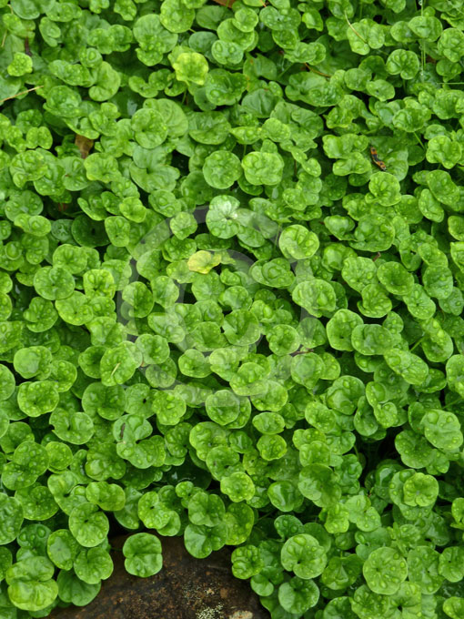 Dichondra Repens Kidney Weed Information Amp Photos