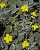 Goodenia affinis Little Luna
