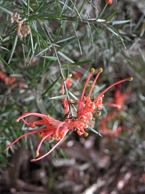 Grevillea Juniperina Prickly Spider Flower Information