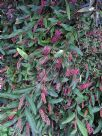 Grevillea Bush Carpet