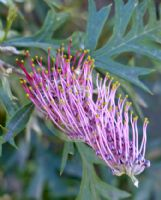 Grevillea Copper Rocket