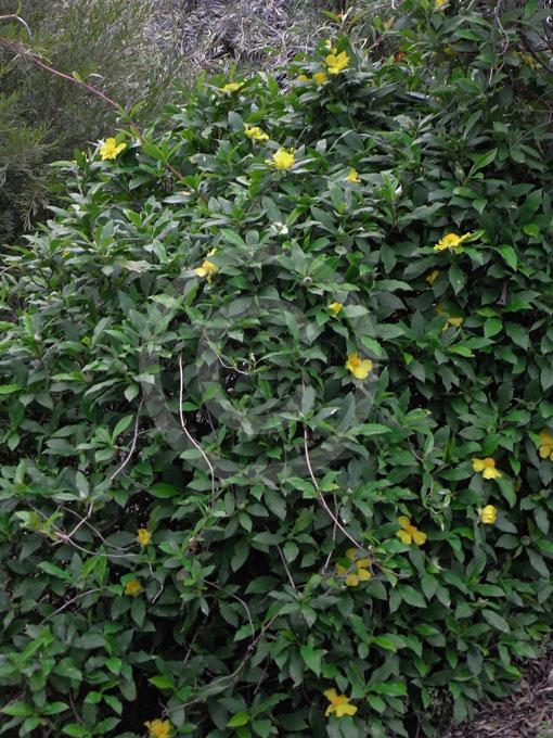 Hibbertia Scandens Climbing Guinea Flower Snake Vine