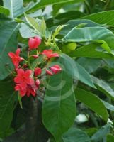Jatropha integerrima