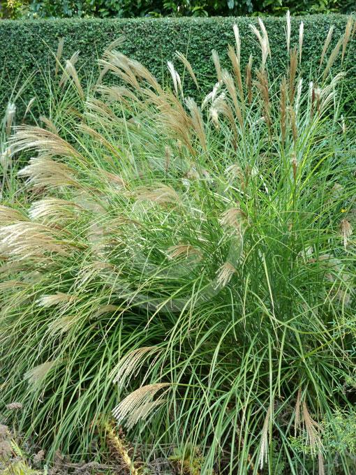 Miscanthus sinensis gracillimus maiden grass information for Maiden grass