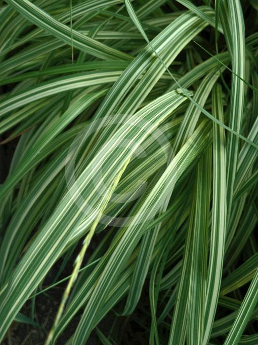 Molinia caerulea variegata variegated purple moor grass for Variegated grass with purple flower