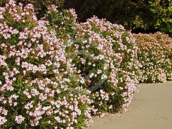 Nerium Oleander Petite Pink Dwarf Oleander Information