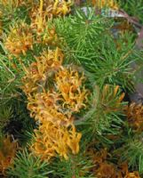 Persoonia chamaepitys