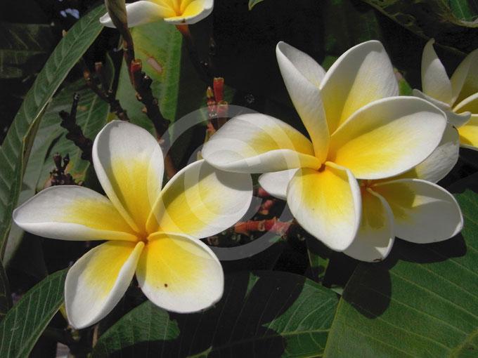 Plumeria rubra acutifolia | Frangipani information & photos