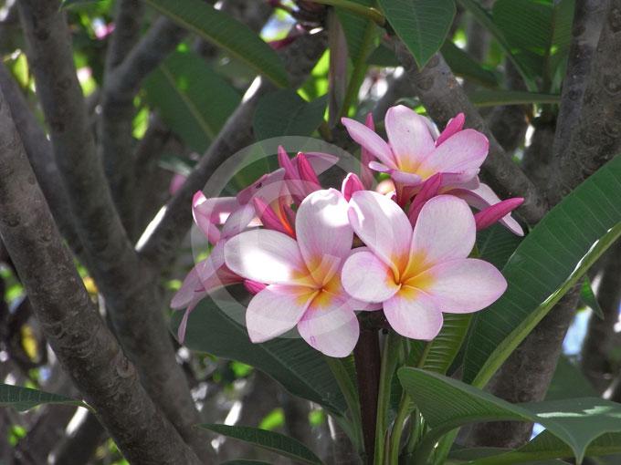 Plumeria rubra frangipani