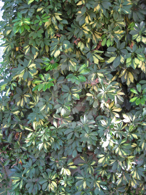 Schefflera arboricola variegata variegated miniature - Schefflera variegata ...