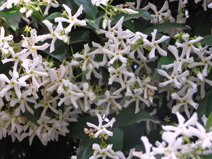 trachelospermum jasminoides star jasmine confederate jasmine information photos. Black Bedroom Furniture Sets. Home Design Ideas