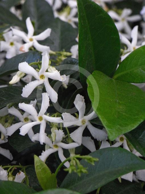 VƯỜN CÂY ĐV II - Page 27 Trachelospermum-jasminoides-main