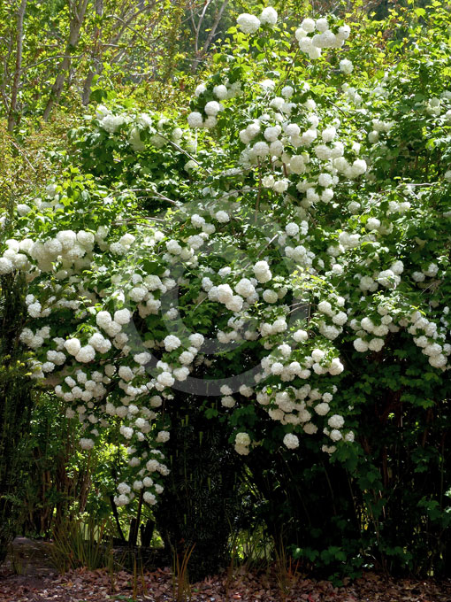 viburnum opulus roseum snowball tree guelder rose information photos. Black Bedroom Furniture Sets. Home Design Ideas
