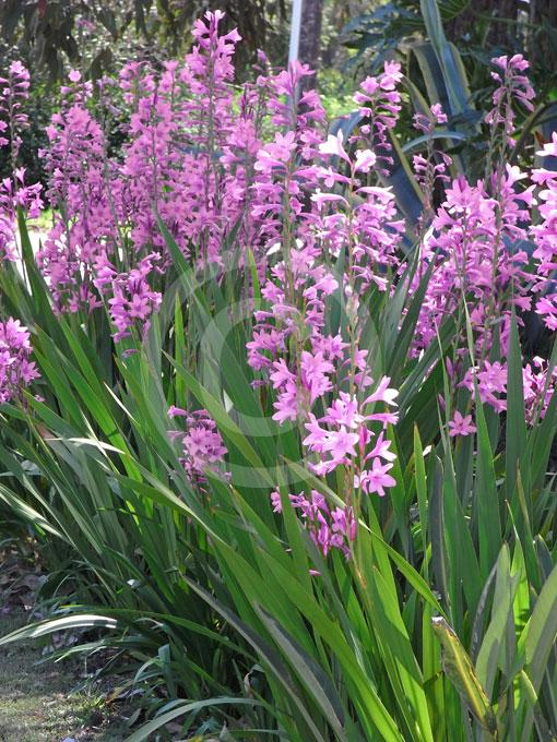 Watsonia Borbonica Rosy Watsonia Cape Bugle Lily