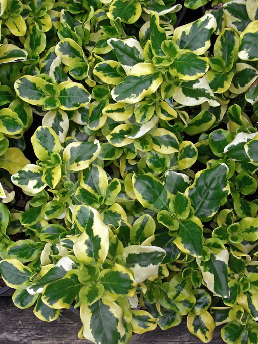 Coprosma Green And Gold Green And Gold Mirror Plant