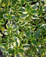 Coprosma Green and Gold