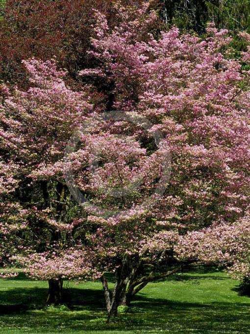 cornus florida rubra pink flowering dogwood information. Black Bedroom Furniture Sets. Home Design Ideas