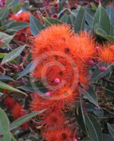 Corymbia ficifolia Orange Splendour
