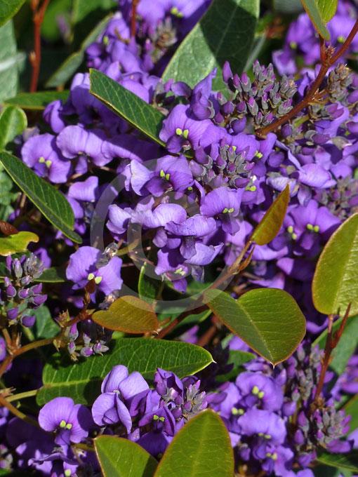 Hardenbergia Violacea Mini Ha Ha Mini Ha Ha False