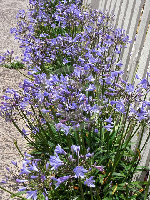 Agapanthus Peter Pan African Lily Lily Of The