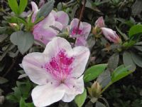 Rhododendron Southern Indica Hybrid Alphonse Anderson