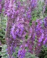 Salvia superba Merleau