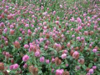 Trifolium pratense Betty