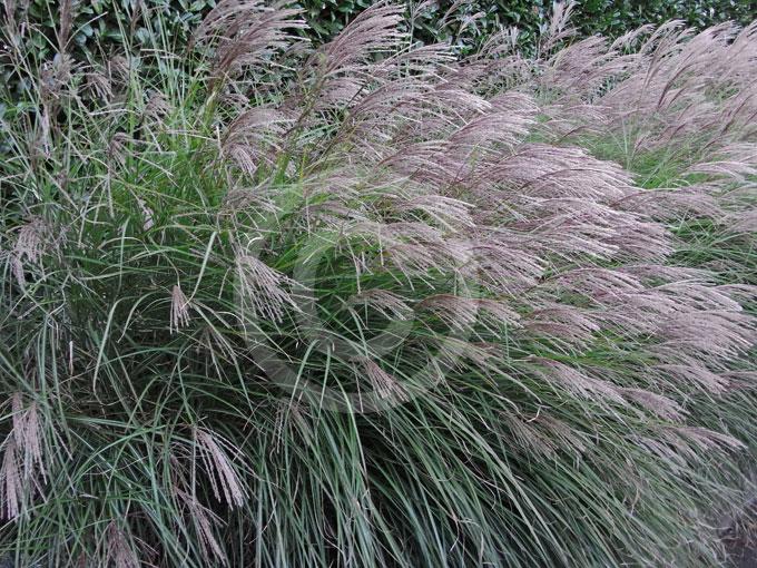 Miscanthus sinensis Silberfeder   Silver Feather Grass ...