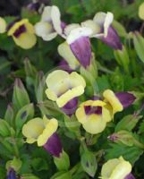Torenia fournieri Yellow Moon