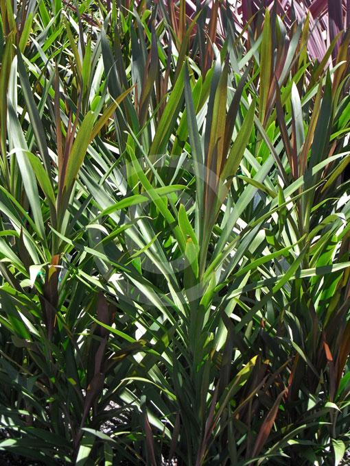 cordyline kiwi pflege
