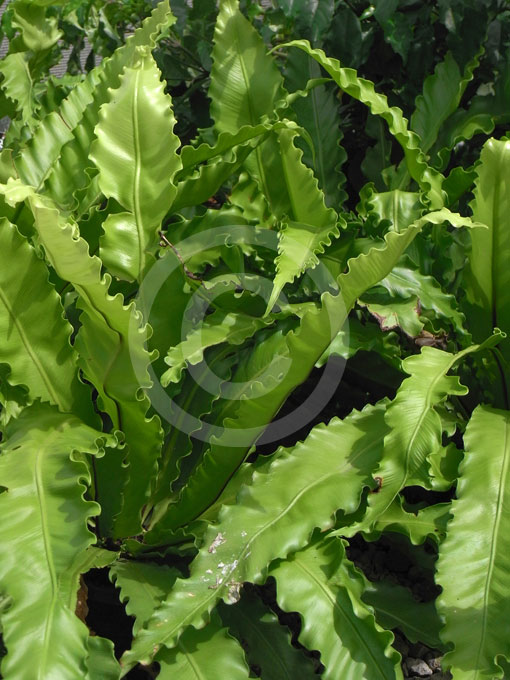 Asplenium antiquum Victoria | Ruffled Bird's Nest Fern ... Ruffled Birds Nest Fern