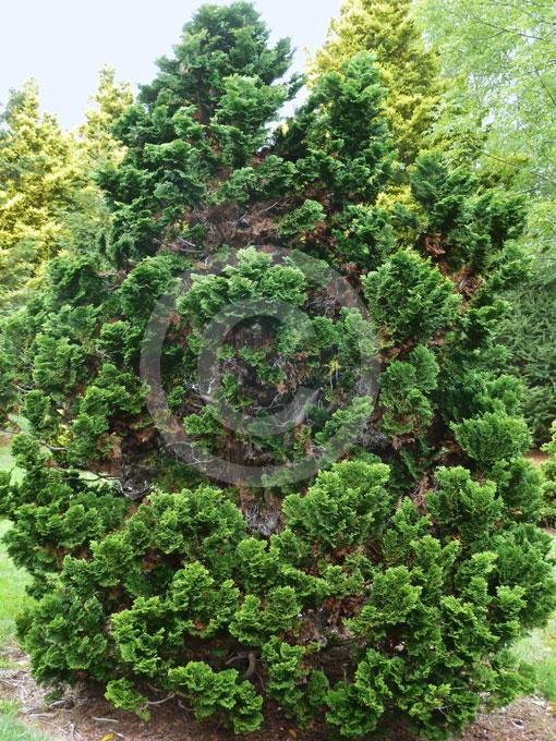 chamaecyparis obtusa nana gracilis dwarf hinoki cypress. Black Bedroom Furniture Sets. Home Design Ideas