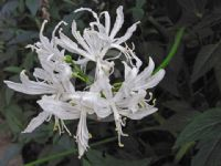 Nerine undulata (Flexuosa Group) Alba