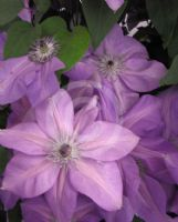 Clematis Shimmer