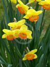 Narcissus Division 2 Bright Lass