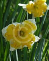 Narcissus Division 11 Sovereign