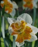 Narcissus Division 11 Pickup
