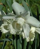 Narcissus Division 1 White Dream