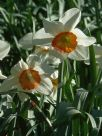 Narcissus Division 3 Amor