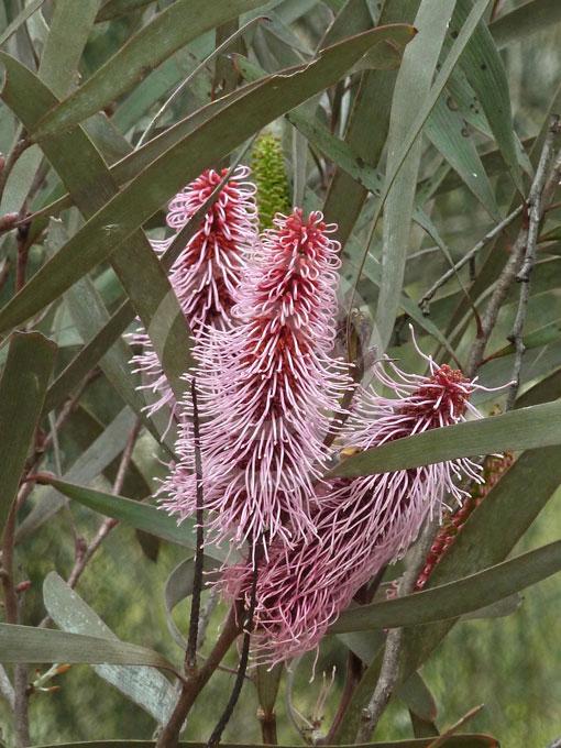Hakea Francisiana Bottlebrush Hakea Grass Leaf Hakea