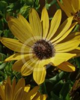 Osteospermum fruticosum Golden Yellow