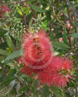 Callistemon acuminatus Nabiac Red