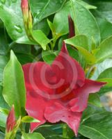 Mandevilla Aloha Regal Ruby
