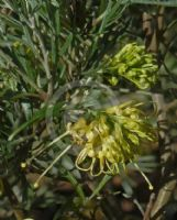 Grevillea Lemon Supreme